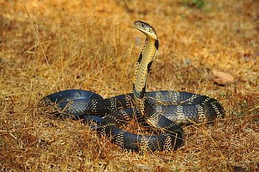 King Cobra (Ophiophagus hannah) in defensive posture, Agumbe Rainforest Research Station, Western Ghats, India  -  Thomas Marent