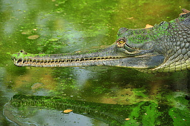 Gharial (Gavialis gangeticus), National Chambal Sanctuary, India  -  Thomas Marent