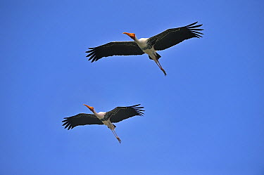 Painted Stork (Mycteria leucocephala) pair flying, Cauvery Wildlife Sanctuary, India  -  Thomas Marent