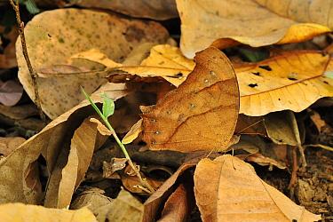 Evening Brown (Melanitis leda) butterfly camouflaged in leaf litter, Manas National Park, Assam, India  -  Thomas Marent