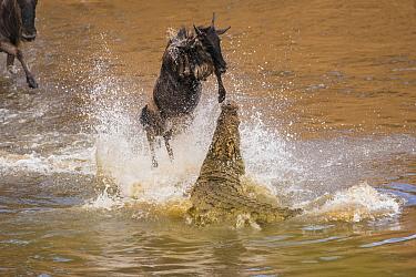 Nile Crocodile (Crocodylus Niloticus) hunting Blue Wildebeest (Connochaetes taurinus), Masai Mara, Kenya  -  Federico Veronesi/ NIS