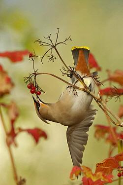 Bohemian Waxwing (Bombycilla garrulus) feeding on berries, Netherlands  -  Peter van der Veen/ NIS