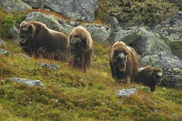 Muskox (Ovibos moschatus) herd, Norway  -  Peter van der Veen/ NIS