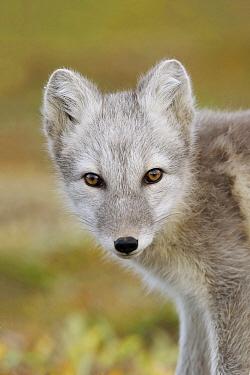 Arctic Fox (Alopex lagopus), Dovrefjell, Norway  -  Peter van der Veen/ NIS