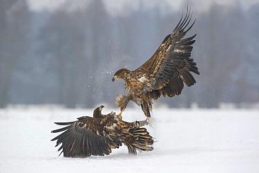 White-tailed Eagle (Haliaeetus albicilla) pair fighting in winter, Poland  -  Peter van der Veen/ NIS