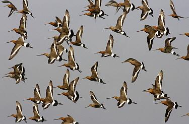 Black-tailed Godwit (Limosa limosa) flock flying, Gelderland, Netherlands  -  Steven Ruiter/ NIS