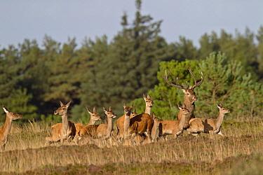 Red Deer (Cervus elaphus) stag, females, and calves in heathland, Denmark  -  Helge Schulz/ NiS