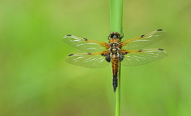 Four-spotted Chaser (Libellula quadrimaculata) dragonfly on Common Reed (Phragmites australis), Netherlands  -  Thijs van den Burg/ NIS