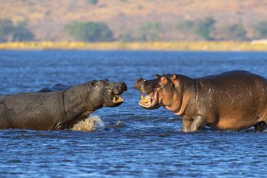 Hippopotamus (Hippopotamus amphibius) female and male fighting, Chobe National Park, Botswana  -  Andrew Schoeman/ NIS