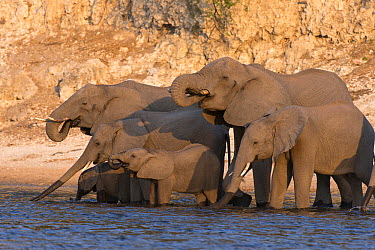 African Elephant (Loxodonta africana) herd drinking, Chobe National Park, Botswana  -  Andrew Schoeman/ NIS