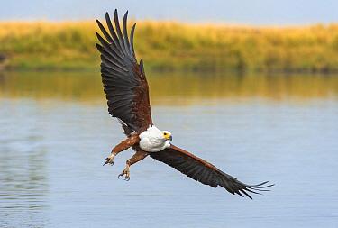African Fish Eagle (Haliaeetus vocifer) fishing, Chobe River, Chobe National Park, Botswana  -  Andrew Schoeman/ NIS