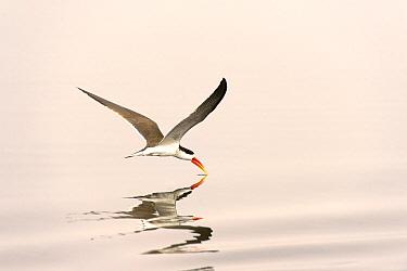 African Skimmer (Rynchops flavirostris) foraging, Chobe National Park, Botswana  -  Andrew Schoeman/ NIS