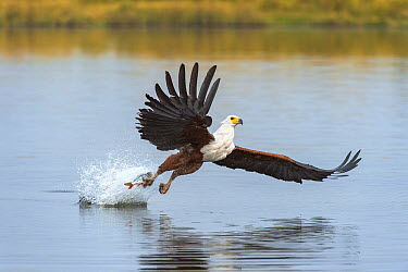 African Fish Eagle (Haliaeetus vocifer) fishing, Chobe River, Chobe National Park, Botswana  -  Andrew Schoeman/ NIS