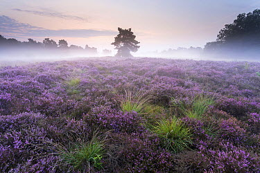 Heather (Calluna vulgaris) with fog, Overijssel, Netherlands  -  Ronald Kamphius/ NIS