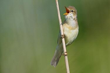 Marsh Warbler (Acrocephalus palustris) male calling, Friesland, Netherlands  -  Marcel van Kammen/ NiS