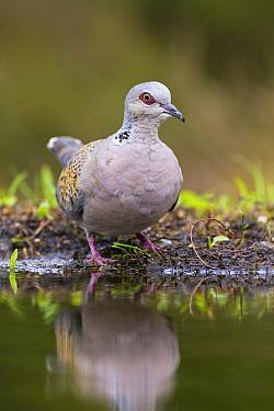 European Turtle-Dove (Streptopelia turtur) near pond, Overijssel, Netherlands  -  Ronald Kamphius/ NIS