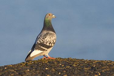 Rock Dove (Columba livia), Zuid-Holland, Netherlands  -  Willem Verhagen/ BIA