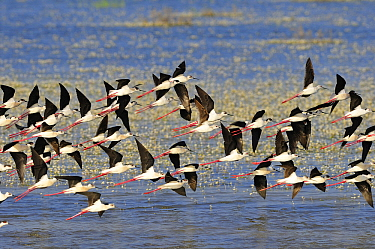 Black-winged Stilt (Himantopus himantopus) flock flying, Donana National Park, Huelva, Spain  -  Diego Lopez Alvarez/ BIA