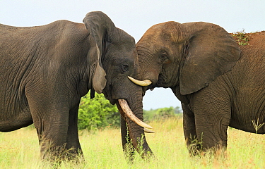 African Elephant (Loxodonta africana) bulls play-fighting, Kruger National Park, South Africa  -  Perry de Graaf/ BIA