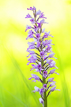 Military Orchid (Orchis militaris) flowering, Schleswig-Holstein, Germany  -  Helge Schulz/ NiS