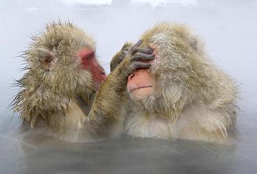 Japanese Macaque (Macaca fuscata) pair grooming in hot spring, Jigokudani Monkey Park, Japan  -  Bart  Breet/ NIS