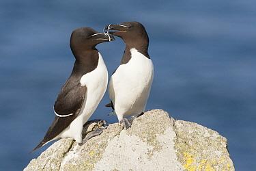 Razorbill (Alca torda) pair, Saltee Island, Ireland  -  Bart  Breet/ NIS