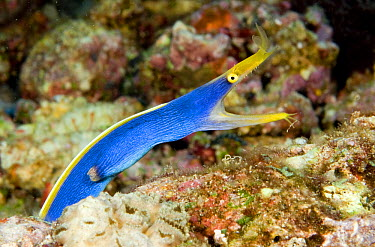 Ribbon Eel (Rhinomuraena quaesita) male in defensive posture, Gili Islands, Lombok, Indonesia  -  Dray van Beeck/ NiS