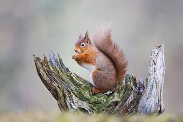 Eurasian Red Squirrel (Sciurus vulgaris) feeding on nut, Cairngorms National Park, Scotland, United Kingdom  -  John Gooday/ NIS