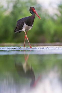 Black Stork (Ciconia nigra) in marsh, Kiskunsag National Park, Hungary  -  John Gooday/ NIS