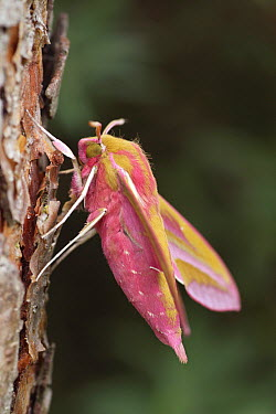 Elephant Hawk Moth (Deilephila elpenor) on Scotch Pine (Pinus sylvestris) tree trunk, Overijssel, Netherlands  -  Karin Rothman/ NiS