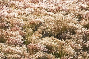 Squirreltail Barley (Hordeum jubatum) field, Kluane National Park, Yukon, Canada  -  Helge Schulz/ NiS