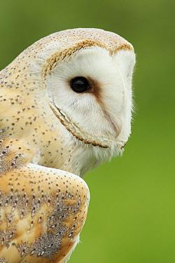 Barn Owl (Tyto alba), Noord-Brabant, Netherlands  -  Ronald Pol/ NIS