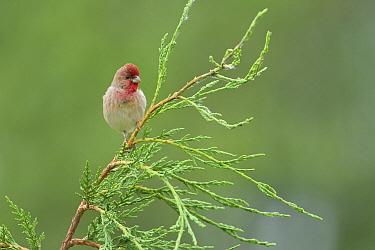 Common Rosefinch (Carpodacus erythrinus), Zuid-Holland, Netherlands  -  Hans Overduin/ NIS