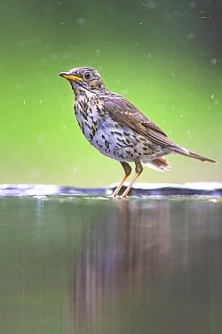 Song Thrush (Turdus philomelos) bathing in pond, Kiskunsag National Park, Hungary  -  John Gooday/ NIS