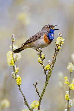 Bluethroat (Luscinia svecica) calling in Crack Willow (Salix fragilis), Noord-Holland, Netherlands  -  Edwin Rem/ NIS