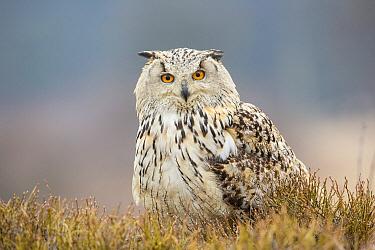 Eurasian Eagle-Owl (Bubo bubo) in moorland, Bohemia, Czech Republic  -  John Gooday/ NIS