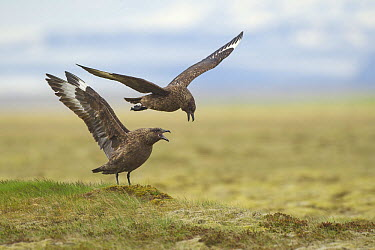 Great Skua (Catharacta skua) male and female calling, Iceland  -  Peter van der Veen/ NIS
