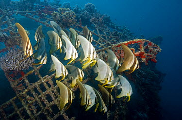 Longfin Batfish (Platax teira) group swimming near wreck, Pemuteran Bay, Bali, Indonesia  -  Dray van Beeck/ NiS