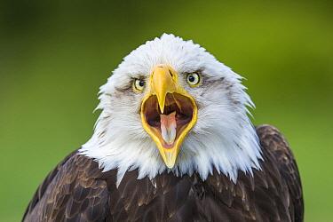 Bald Eagle (Haliaeetus leucocephalus) calling, Hampshire, England, United Kingdom  -  John Gooday/ NIS