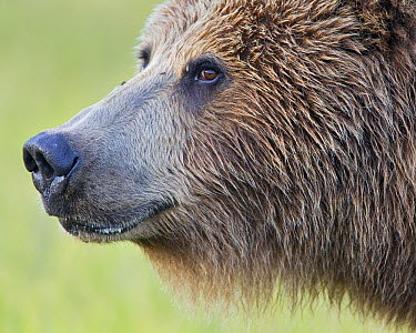 Grizzly Bear (Ursus arctos horribilis), Lake Clark National Park, Alaska  -  Richard Garvey-Williams/ NIS