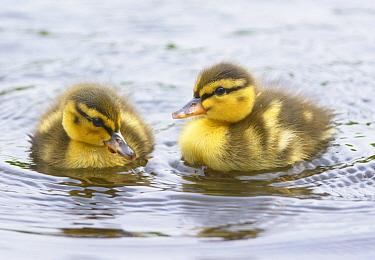 Mallard (Anas platyrhynchos) ducklings swimming, Zuid-Holland, Netherlands  -  Remco van Daalen/ NIS