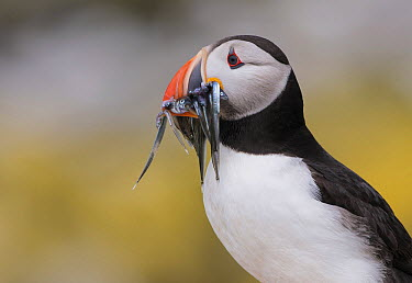 Atlantic Puffin (Fratercula arctica) with Greater Sand Eel (Hyperoplus lanceolatus) prey, Staple Island, Northumberland, England, United Kingdom  -  Franka Slothouber/ NIS