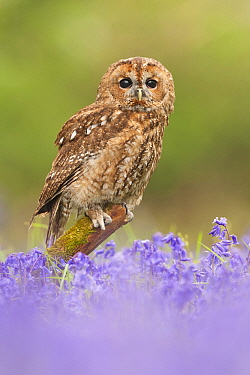 Tawny Owl (Strix aluco) in field of English Bluebell (Hyacinthoides nonscripta) flowers, Suffolk, England, United Kingdom  -  Kyle Moore/ BIA