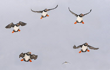 Atlantic Puffin (Fratercula arctica) group landing, Varanger Peninsula, Norway  -  Rob Reijnen / NiS
