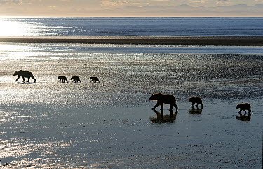 Grizzly Bear (Ursus arctos horribilis) mothers and cubs walking on mudflat, Cook Inlet, Alaska  -  Rob Reijnen / NiS