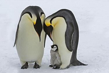 Emperor Penguin (Aptenodytes forsteri) parents with chick, Antarctica  -  Rob Reijnen / NiS