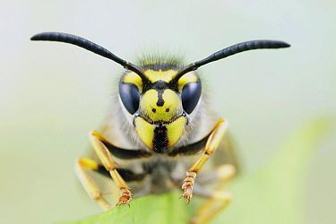 German Wasp (Vespula germanica), Noord-Holland, Netherlands  -  Bert Pijs/ NIS