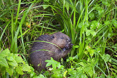 European Beaver (Castor fiber) feeding on leaves, Belgium  -  Edwin Rem/ NIS