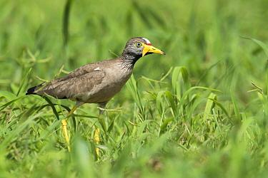 Wattled Lapwing (Vanellus senegallus), Fajara, Gambia  -  Dave Montreuil/ BIA