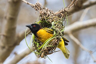 Village Weaver (Ploceus cucullatus) male building nest, Gambia  -  Dave Montreuil/ BIA